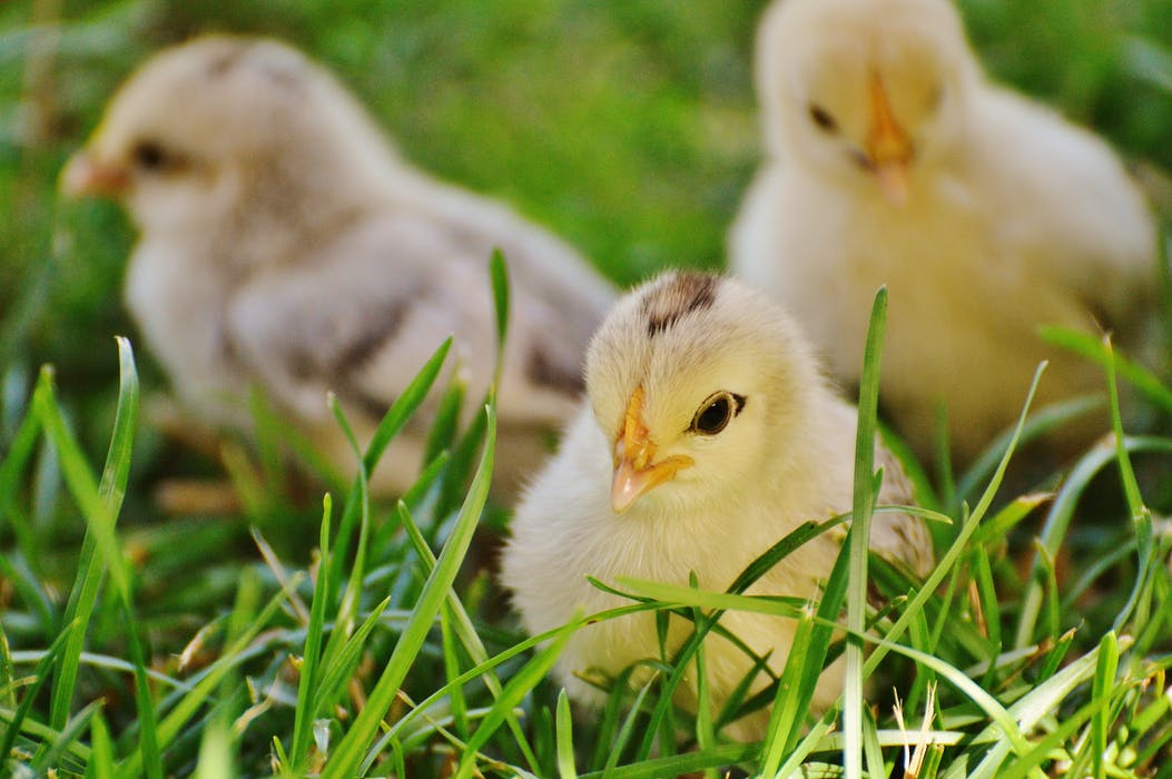 chicks-chicken-small-poultry-162164