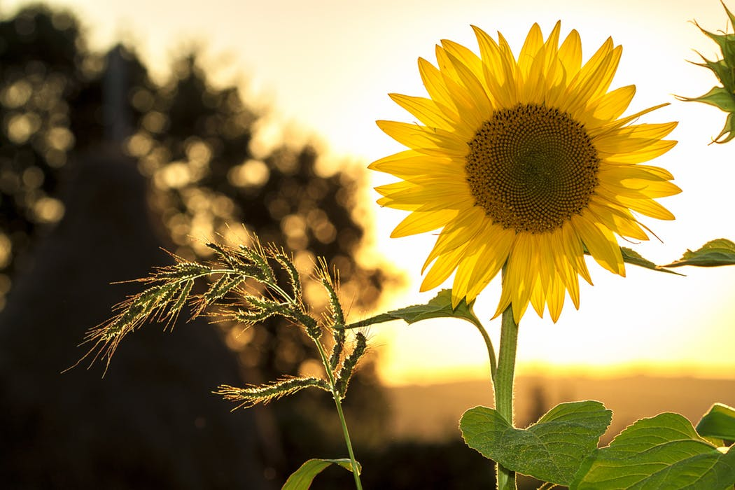 sunflower-sun-summer-yellow
